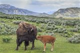 Bison And Calf (YNP)