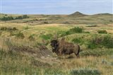 Bison In North Dakota Landscape