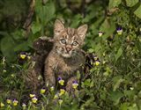 Bobcat Kitten In Wildflowers