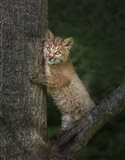 Bobcat Kitten Poses Against Tree Trunk