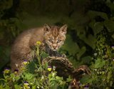 Bobcat Kitten Poses On Log