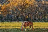 Cades Cove Horses At Sunset