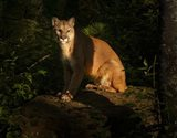 Mountain Lion At Sunrise