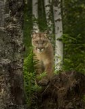 Mountain Lion Forest Pose