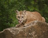 Mountain Lion Lunch