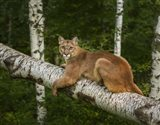 Mountain Lion On Forest Log