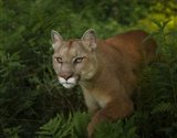 Mountain Lion On The Prowl