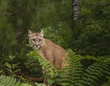 Mountain Lion With Ferns