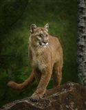 Proud Mountain Lion 2