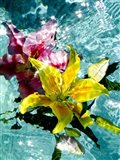 Floating Lilies 1