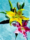 Floating Lilies 2