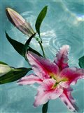 Floating Lilies 5