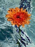 Floating Orange Mum 1