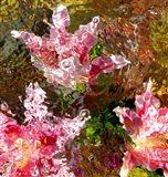 Stargazer Lilies 1