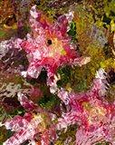 Stargazer Lilies 4
