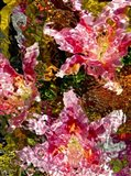 Stargazer Lilies 6