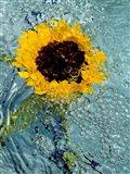 Submerged Sunflower 2