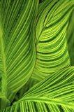 So Green Striped