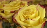 Yellow and Red Rose 3