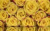 Yellow and Red Rose 6