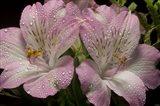 Pink Alstroemerias 4