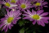 Pink Daisies 1