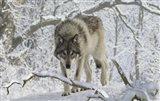 Zoo Wolf 3