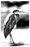 Passing Bird BW