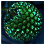 Pod Of Seeds