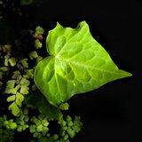 Leaf And Leaves