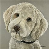 Goldendoodle On Gray
