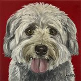 Havanese On Red