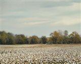 Cotton Field In Autumn