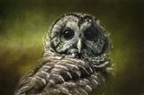 Barred Owl In The Grove
