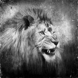 Snarling In Black And White