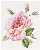 Single Rose 3