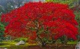 Japanese Maple In Autumn