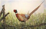Glorious Pheasant