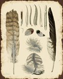 Vintage Feather Study - A