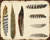 Vintage Feather Study - F