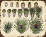 Vintage Feather Study - H