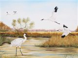 Whooping Cranes - A
