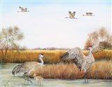 Sandhill Cranes - A