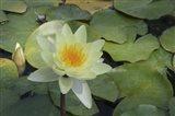 Pond Lily - White