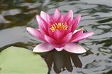 Pond Lily Purple Lily Reflecting
