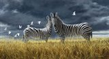 Coming Of Rain Zebra