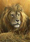 Evening Glow  Lion