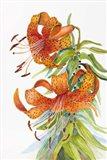 Tigar Lilies