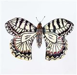 Butterfly Collection Southern Festoon