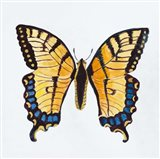 Butterfly Collection The Tiger Swallowtail